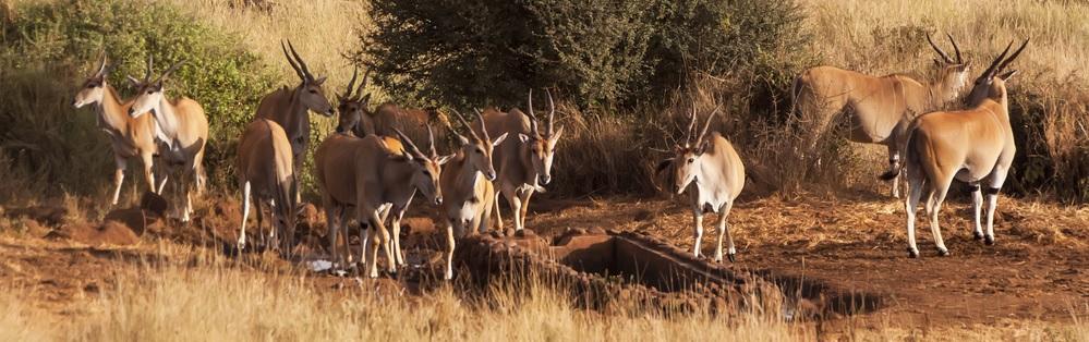 rc-antelope